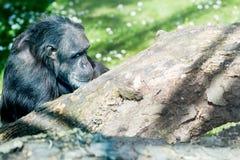 Schimpanse, der auf einem Frieden des Holzes und des Denkens sitzt Lizenzfreie Stockfotos