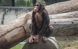 Schimpanse, der auf einem Klotz an einem Naturschutzgebiet in Indien sitzt Stockfotos