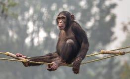 Schimpanse, der auf einem Schwingen an einem Zoo in Indien sitzt Stockfotografie