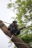 Schimpanse, der auf einem Stamm mit Seilen sitzt Stockbild
