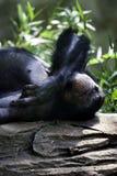Schimpanse, der auf einen Felsen am Zoo legt Lizenzfreie Stockfotografie