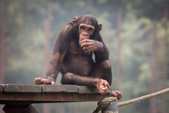 Schimpanse, der auf einer Planke in einer Beschränkung an Kolkata-Zoo sitzt Lizenzfreies Stockfoto
