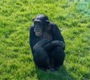 Schimpanse, der auf etwas Gras sitzt Lizenzfreies Stockfoto