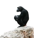 Schimpanse, der auf Felsen sitzt Stockbild