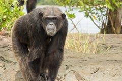 Schimpanse, der auf Felsen steht Stockbild