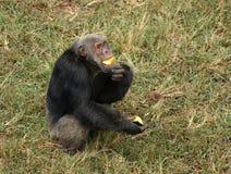 Schimpanse, der auf grasartigem Boden isst Lizenzfreies Stockfoto