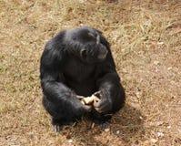 Schimpanse, der auf grasartigem Boden sitzt Stockbilder
