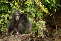 Schimpanse, der auf Klotz sitzt Lizenzfreie Stockfotografie