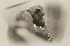 Schimpanse, der auf Niederlassung sitzt Stockfotografie