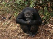 Schimpanse, der aus den Grund sitzt Stockbild