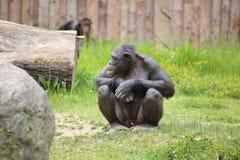 Schimpanse, der aus den Grund sitzt Lizenzfreie Stockfotografie