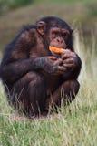 Schimpanse, der eine Karotte isst Stockfoto