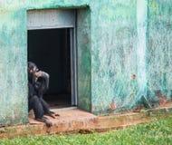 Schimpanse, der in einem Eingang sitzt Lizenzfreies Stockfoto