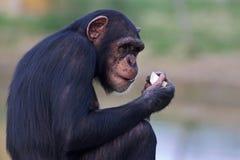 Schimpanse, der einen Apfel isst Stockbild