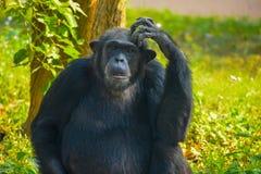 Schimpanse, der an etwas sitzt und denkt stockbilder