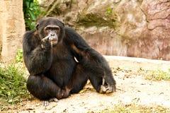 Schimpanse, der friedlich sitzt Lizenzfreie Stockfotos