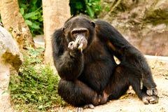 Schimpanse, der friedlich sitzt Lizenzfreies Stockbild