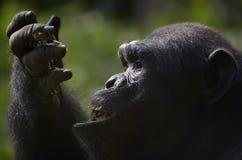 Schimpanse, der Frucht isst Stockfotos
