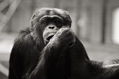 Schimpanse in der Gefangenschaft Lizenzfreie Stockfotos