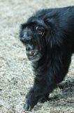Schimpanse in der Gefangenschaft Lizenzfreie Stockfotografie