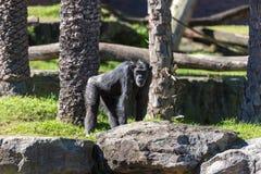 Schimpanse, der gegen Naturhintergrund geht Lizenzfreie Stockfotos