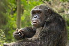 Schimpanse, der Huhn isst Stockbild