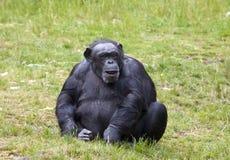 Schimpanse, der im Gras sitzt Lizenzfreie Stockbilder