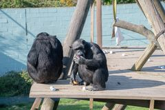 Schimpanse, der Lebensmittel auf einer hölzernen Plattform isst Stockbilder