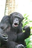 Schimpanse, der lustige Gesichter mit seinen Lippen macht Stockfotografie