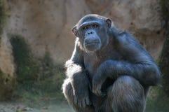 Schimpanse, der mit Aufmerksamkeit schaut Lizenzfreies Stockfoto