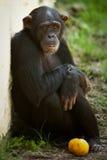 Schimpanse, der mit Frucht sitzt Stockfoto