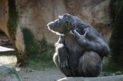 Schimpanse, der mit lustigem Gesicht sich verkratzt Stockbild