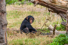Schimpanse in der Natur Stockbild
