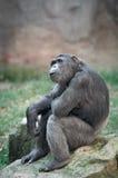 Schimpanse, der oben in der Überraschung schaut Stockfoto