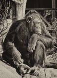 Schimpanse, der an Sachen denkt Lizenzfreie Stockfotografie