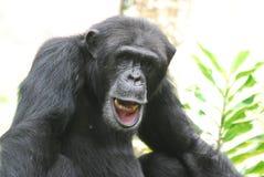 Schimpanse, der seine Zähne zeigt und mit seiner Lippe spielt Lizenzfreies Stockbild