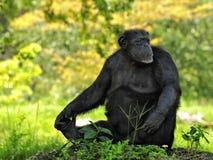 Schimpanse, der weg schaut Lizenzfreie Stockfotografie
