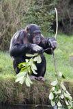 Schimpanse, der Steuerknüppel bricht stockfotografie