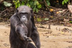 Schimpanse, der um Lebensmittel bittet Lizenzfreie Stockbilder