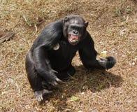 Schimpanse, der Zähne entblößt Stockbilder