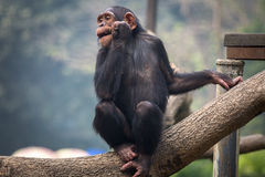 Schimpanse an einem Zoo - Porträtnahaufnahmeschuß Lizenzfreie Stockfotos
