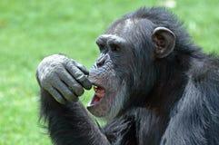 Schimpanse-Gesicht. Stockfotos