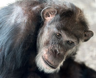 Schimpanse Headshot Stockfotografie