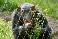 Schimpanse hinter einem Zaun Lizenzfreies Stockbild