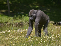 Schimpanse im blühenden Gras Stockfotos