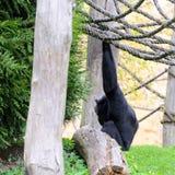 Schimpanse im Garten, spielend mit Seilen Frühling Lizenzfreies Stockbild