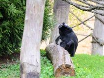 Schimpanse im Garten, spielend mit Seilen Frühling Lizenzfreie Stockfotos
