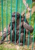 Schimpanse im Gedanken Stockfotografie
