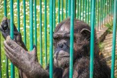 Schimpanse im Gedanken Lizenzfreie Stockfotografie
