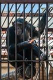 Schimpanse im Käfig Stockbild